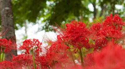 higan-cluster amaryllis-when-a visit to a grave-ancestor memorial service-offerings-taboo-sanzu river